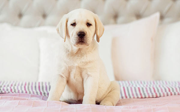 sweet yellow labrador puppy on a bed