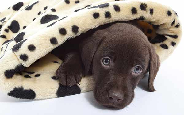 chocolate lab puppy in a blanket