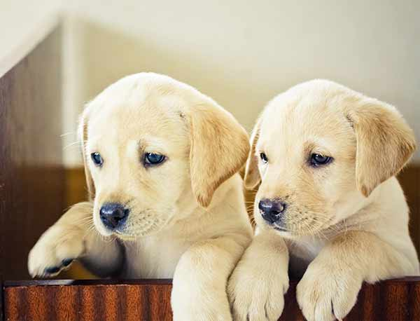 Only the best girl dog names will do for these two lab puppies