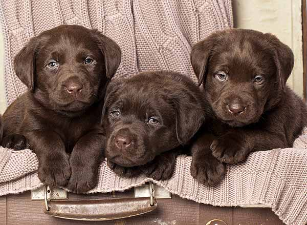 Female puppy names for these chocolate lab babies