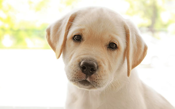 Which female dog names would suit this yellow lab puppy?
