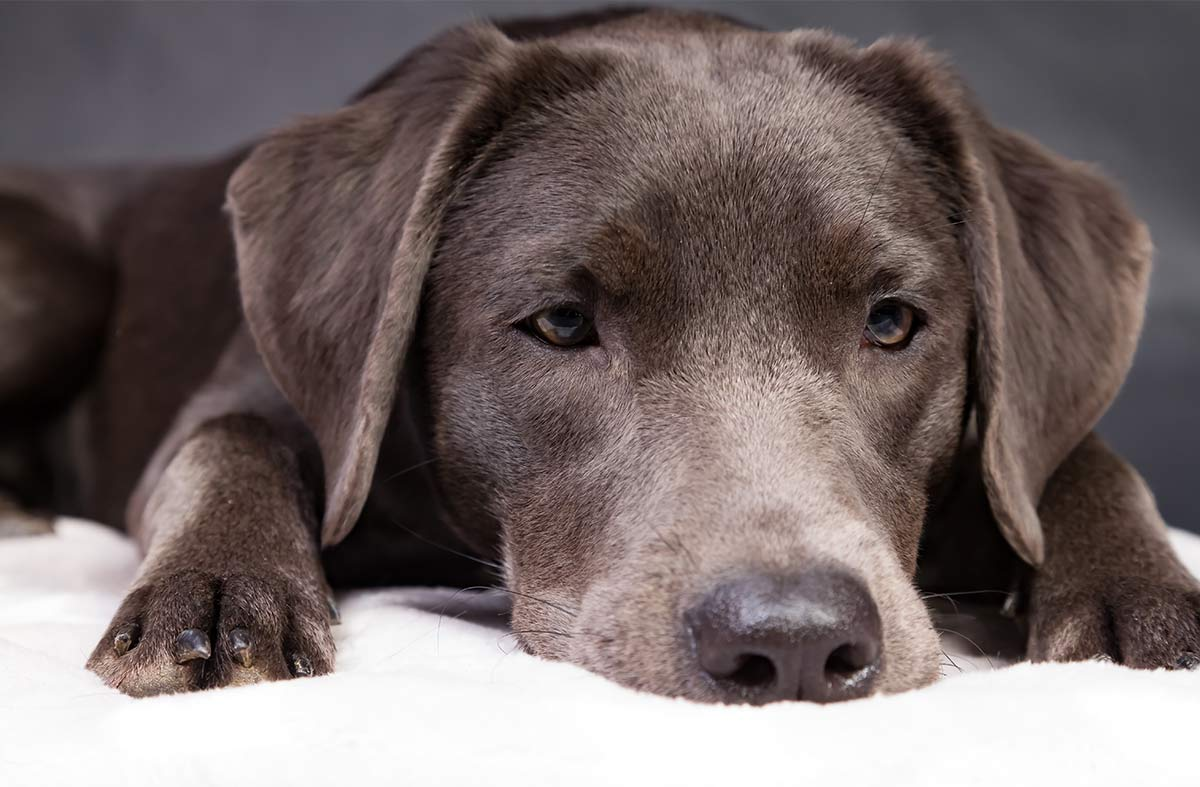 silver labrador retriever laying down