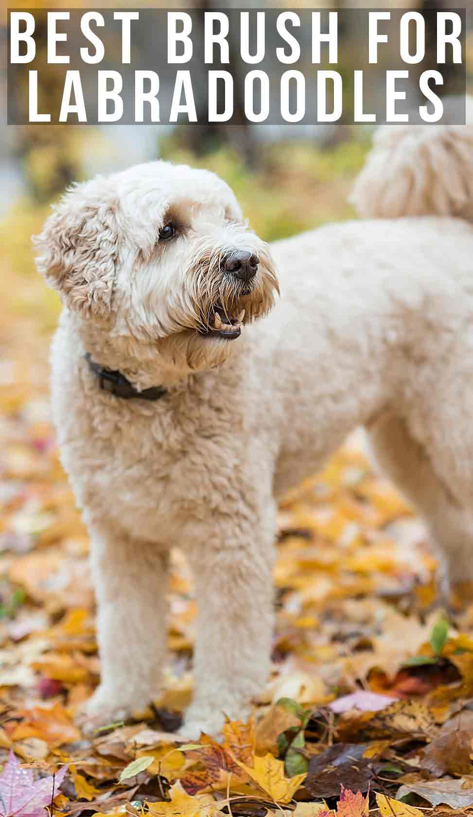 Best brush for Labradoodle dogs and their curly coats.