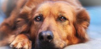 Allegra For Dogs