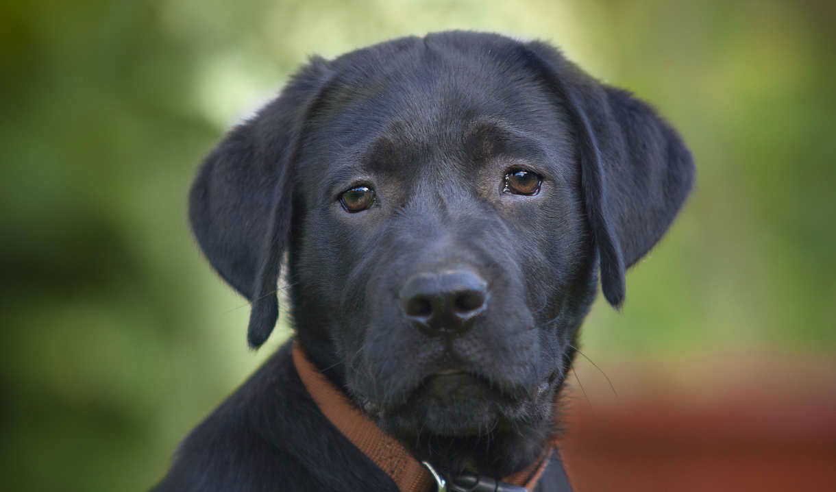 labrador retriever life span