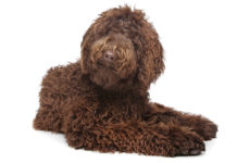 Best Brush For Labradoodle Dogs