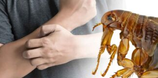 can fleas live on humans