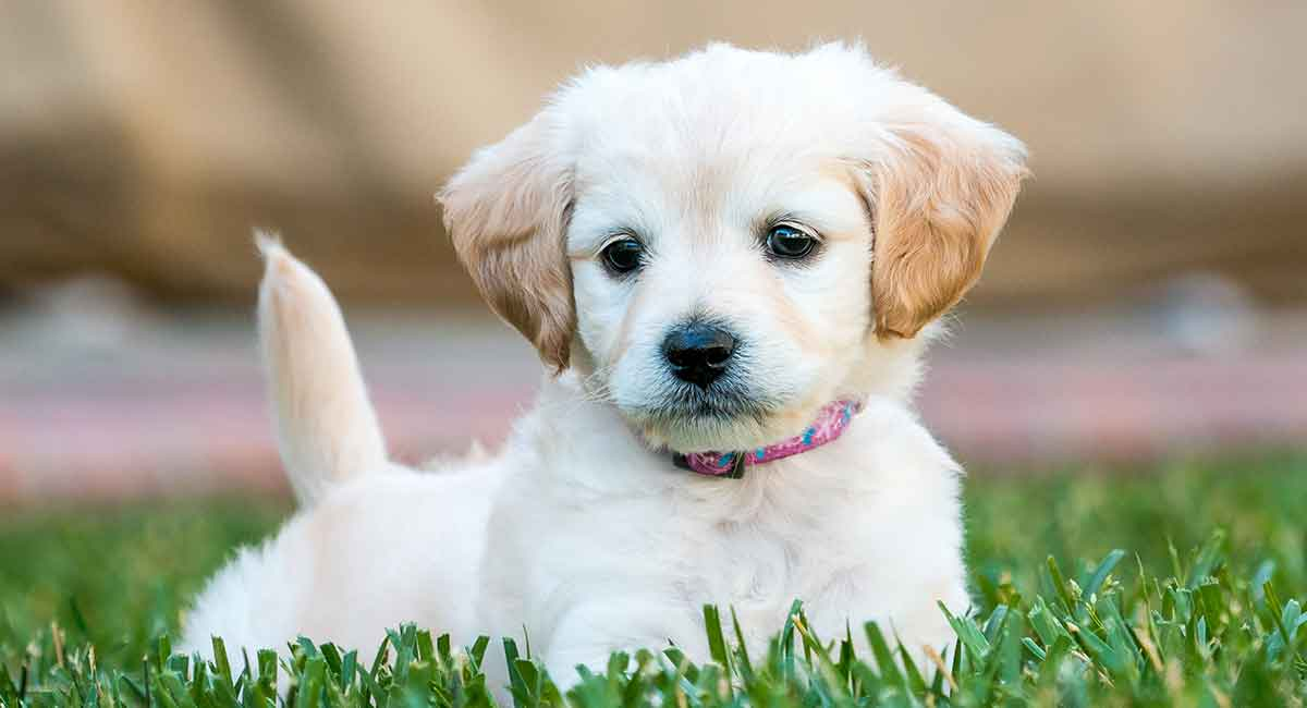 Mini Labradoodle The Miniature Poodle Labrador Retriever