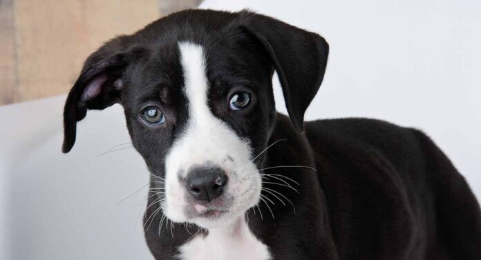 pitbull lab mix
