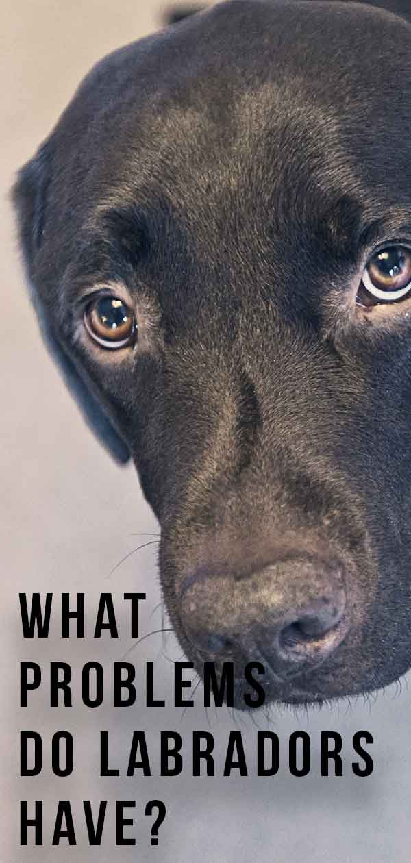 what problems do labradors have