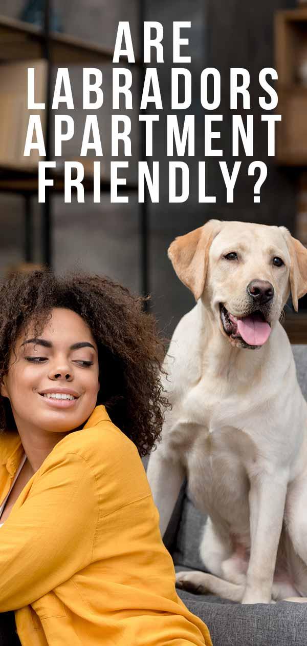 are labradors apartment friendly