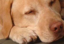 are labradors calm dogs