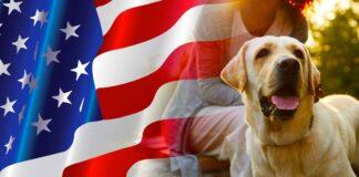 american labrador