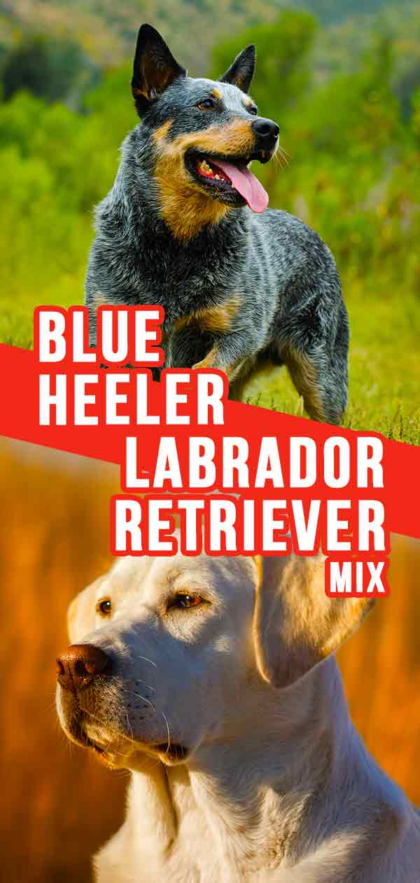 blue heeler lab mix