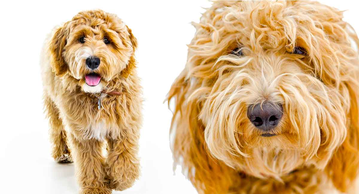 Labradoodle Vs Goldendoodle Which Popular Cross Is Best