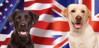 english vs american labrador