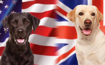 english vs american labrador
