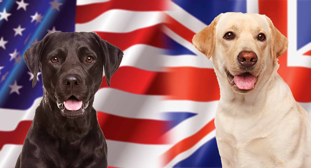 English Vs American Labrador What S The Difference
