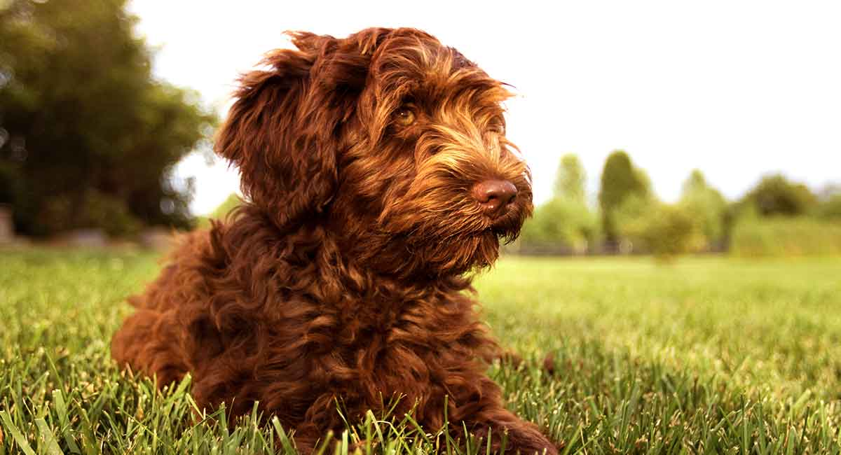 Australian Labradoodle What You Need To Know About This Breed