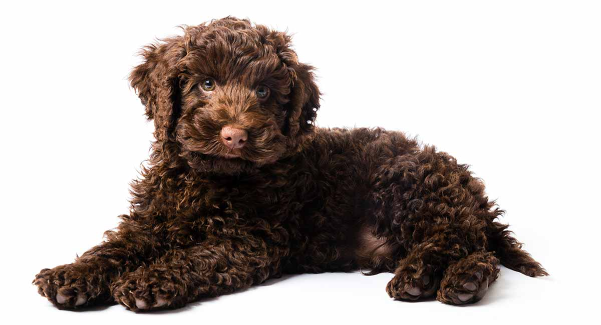 Toy Labradoodle The Miniature Version Of The Popular Cross