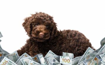 labradoodle cost