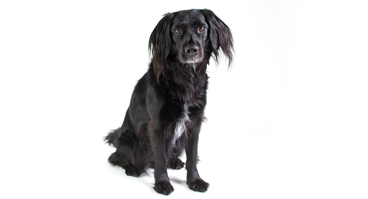 lab cocker spaniel