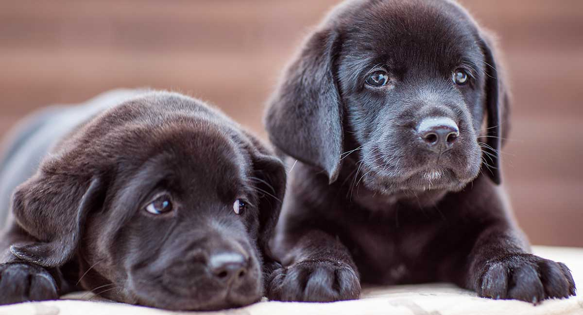 Black Lab Names 400 Perfect Ideas For Your Pup