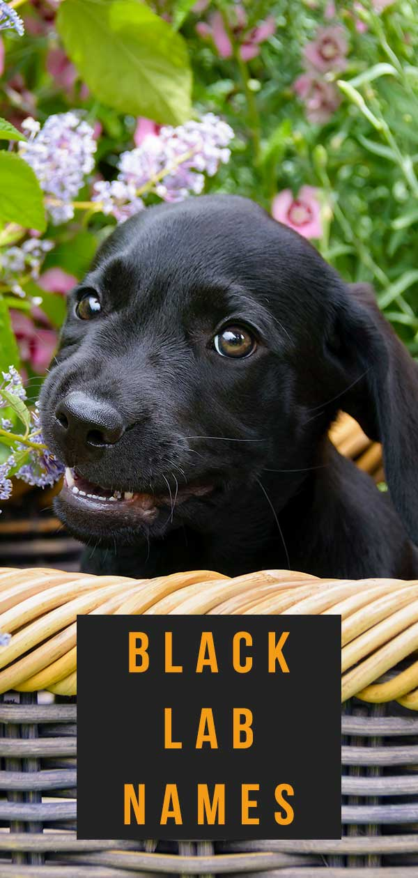 black lab names