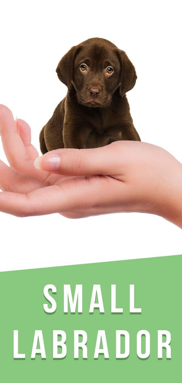 small labrador