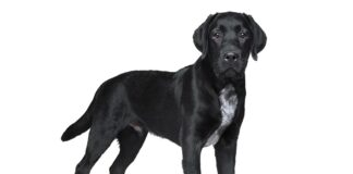 black lab with white chest