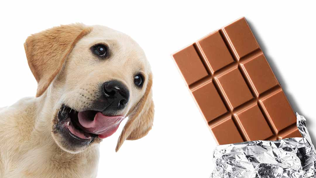 Can Dogs Eat Chocolate, And What