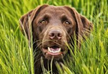 field labrador