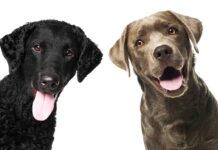 curly coated retriever vs labrador