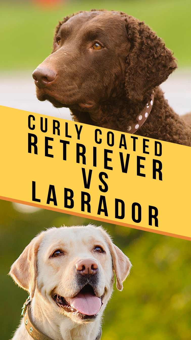 curly coated retriever vs labrador