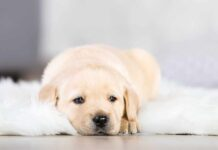 labrador puppy on rug