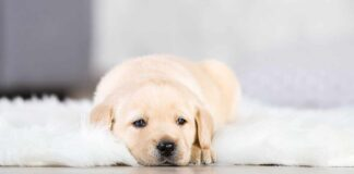 labrador puppy on rug