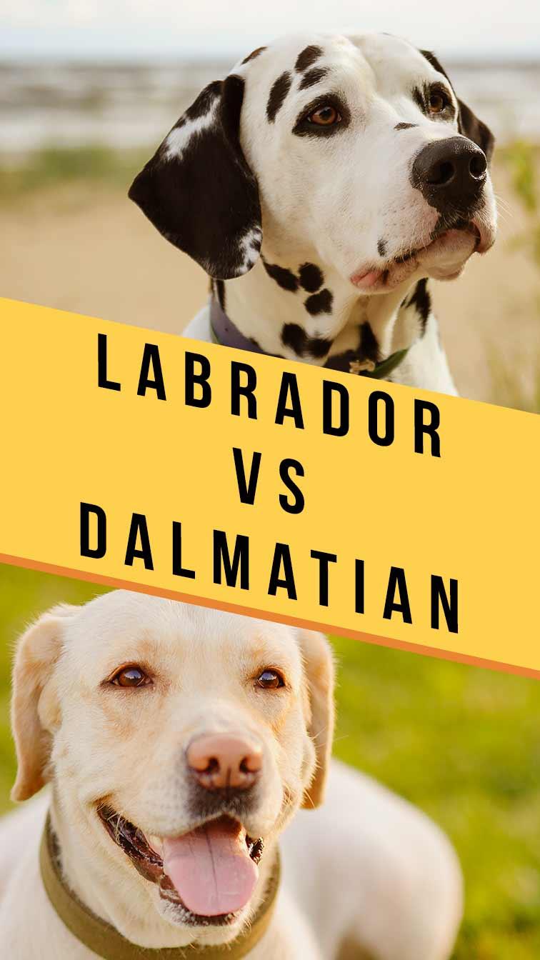 labrador vs dalmatian