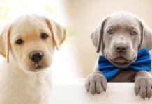 weimaraner vs labrador