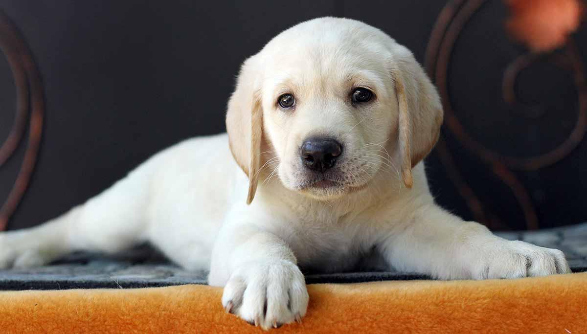 10 Tips For A Happy Labrador Puppy