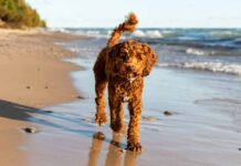 labradoodle temperament
