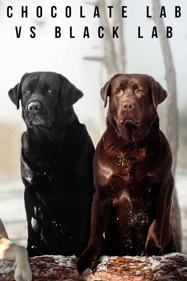 chocolate lab vs black lab