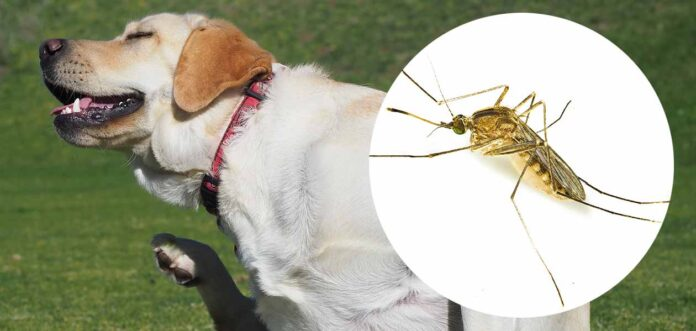 do midges bite dogs