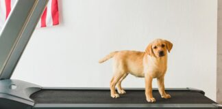 a dog exercises on a treadmill