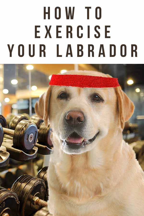 a labrador exercising