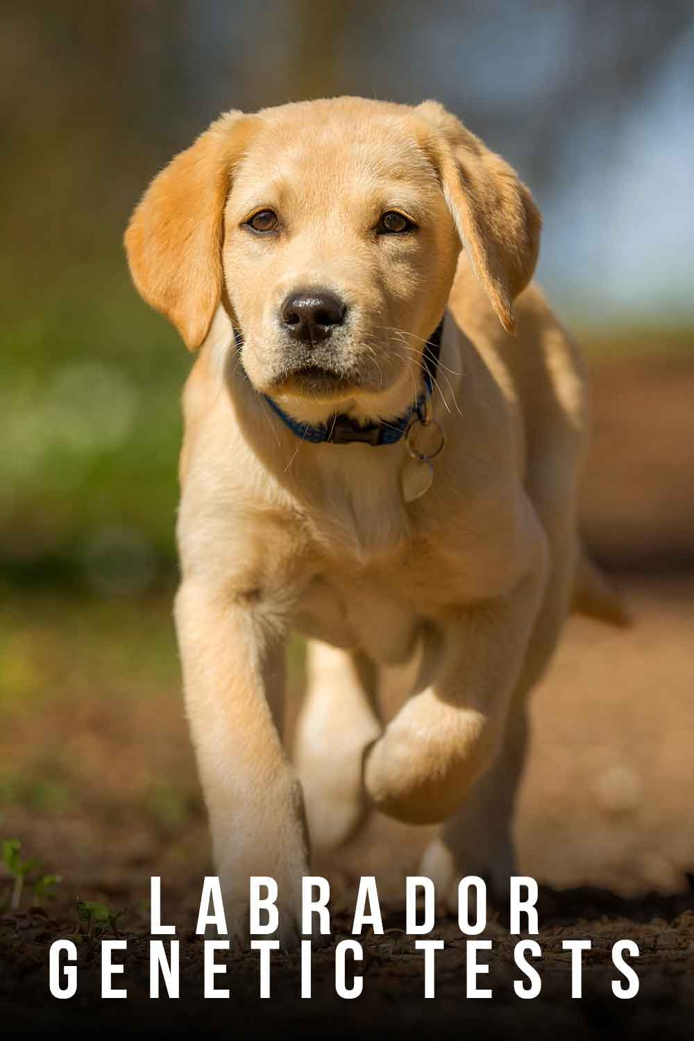 Should I get a genetic test for my Labrador