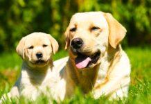 when do labradors mature?