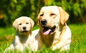 when do labradors mature?