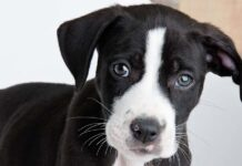 black lab pitbull mix