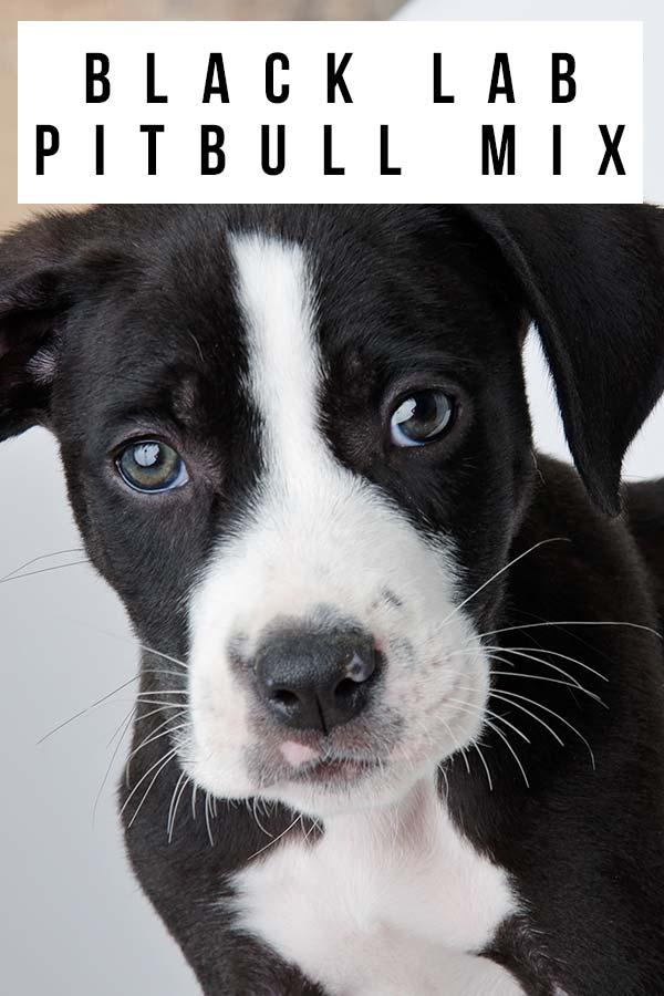 black lab pitbull mix