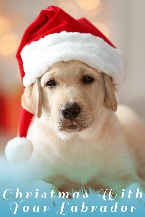 a yellow Labrador in the christmas hat